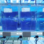 Tanks of fish are seen during the grand opening of the Penn State College of Medicine Zebrafish Functional Genomics Core in April 2016. A row of five tanks with bright blue water are visible, with a green fake plant in the top of the leftmost tank and zebrafish visible swimming in the tanks. Other tanks can be seen above and below.