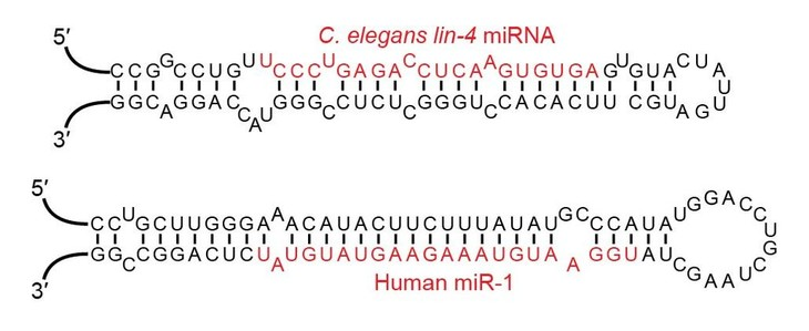 Examples of microRNA stem-loops, with the mature microRNAs shown in red.